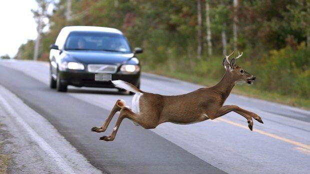 Wypadki komunikacyjne spowodowane przez dzikie zwierzęta